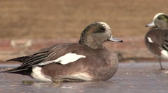 American Widgeon Resting Winter Baldpate Ice Stock Footage