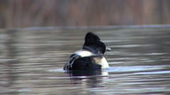 Ring-necked Duck Male Adult Lone Feeding Winter Diving Stock Footage