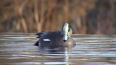 American Widgeon Drake Lone Feeding Winter Baldpate - stock footage