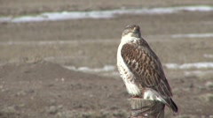 Ferruginous Hawk Winter Stock Footage