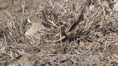 Horned Lark Female Adult Nesting Spring Stock Footage