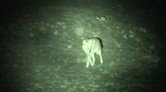 Coyote Lone Spring Night Infrared Stock Footage