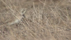 Horned Lark Spring Stock Footage