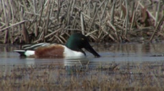 Northern Shoveler Spring Stock Footage