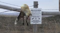 Land Use Western Region Lone Dead Winter Fence Predator Red Fox Stock Footage