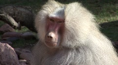 Baboon Lone Resting Winter Stock Footage
