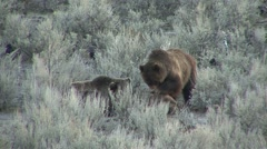Grizzly Bear Adult Pair Feeding Spring Dawn Carrion Stock Footage