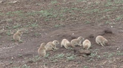 Black-tailed Prairie Dog Young Several Spring Stock Footage