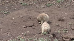 Black-tailed Prairie Dog Young Several Grooming Spring Humor - stock footage