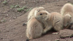 Black-tailed Prairie Dog Young Several Playing Spring Humor - stock footage