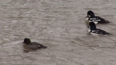 Goldeneye Drake Hen Adult Several Feeding Spring Stock Footage