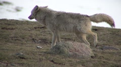 Coyote Adult Lone Spring Urinating Scent Marking - stock footage