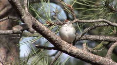 Chipping Sparrow Adult Lone Spring Stock Footage