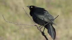 Common Grackle Male Adult Lone Breeding Spring Calling Singing Stock Footage