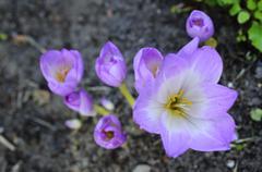 Sunlit colchicum in the flowerbed Stock Photos