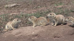 Black-tailed Prairie Dog Young Family Spring Biting Tail - stock footage