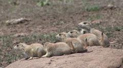 Black-tailed Prairie Dog Family Alarmed Spring - stock footage