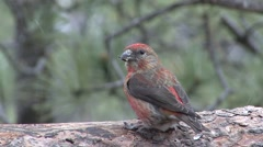 Red Crossbill Male Adult Lone Spring Stock Footage