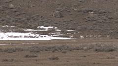Pronghorn Antelope Several Alarmed Spring - stock footage