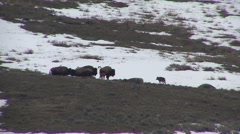 Bison Adult Fawn Several Alarmed Spring Wolves Hunting Stock Footage