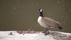 Stock Video Footage of Canada Goose Adult Lone Resting Spring Lamar River Snag Roosting Zoom In
