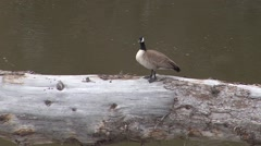 Stock Video Footage of Canada Goose Adult Lone Resting Spring Lamar River Snag Roosting Zoom Out