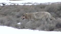 Wolf Lone Walking Spring Druid Pack - stock footage