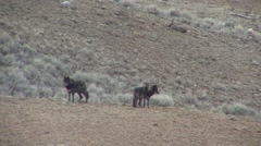 Wolf Adult Pair Spring Black Phase Druid Pack - stock footage