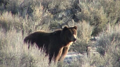 Grizzly Bear Pair Alarmed Spring Stock Footage