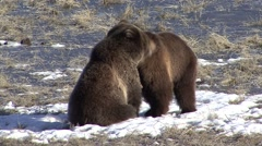 Grizzly Bear Immature Pair Playing Spring Wrestling - stock footage