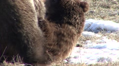 Grizzly Bear Pair Playing Spring Wrestling Rolling Playing Biting Stock Footage