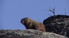 Yellow-bellied Marmot Lone Grooming Spring Itching Scratching Stock Footage