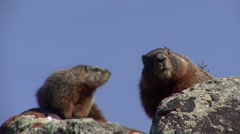 Yellow-bellied Marmot Pair Alarmed Spring Stock Footage