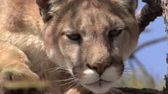 Mountain Lion Lone Resting Spring Arkistovideo