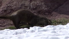 River Otter Several Playing Spring Stock Footage