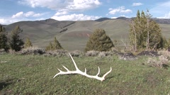 Stock Video Footage of Elk Lone Dead Spring Antlers Shed