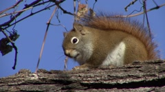 Red Squirrel Adult Lone Resting Stock Footage