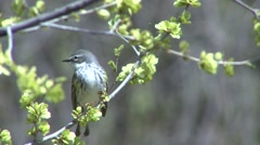 Yellow-rumped Warbler Adult Lone Spring Stock Footage