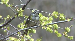 Yellow-rumped Warbler Adult Lone Resting Spring - stock footage