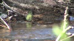 Nashville Warbler Lone Bathing Spring Stock Footage