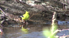 Goldfinch Male Adult Lone Drinking Spring - stock footage