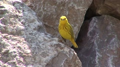 Yellow Warbler Adult Lone Resting Spring Stock Footage