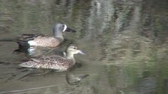 Blue-winged Teal Drake Hen Adult Pair Swimming Spring Stock Footage