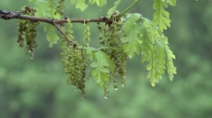 Bur Oak Spring Catkins Rain Dew Water Stock Footage