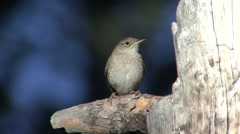 House Wren Adult Pair Breeding Spring Singing Calling Nesting Stock Footage