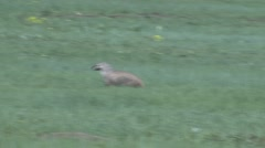 Badger Adult Lone Hunting Summer Stock Footage