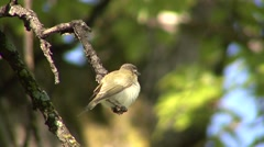 Red-eyed Vireo Adult Lone Breeding Summer Singing Calling Stock Footage