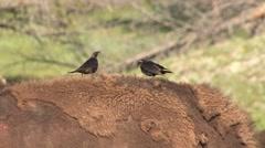 Brown-headed Cowbird Male Female Adult Pair Resting Summer Stock Footage