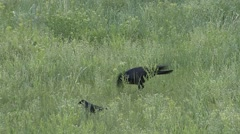 Crow Adult Lone Summer Harassing Harassment Stock Footage