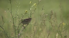 Grasshopper Sparrow Adult Lone Breeding Summer Singing Stock Footage